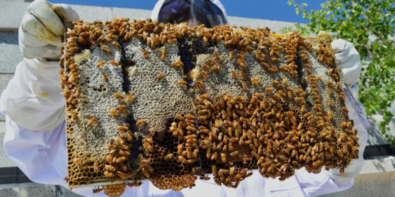 Would You Host Honey Bees On Your Roof Kodiak Roofing